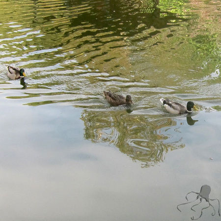 Bercy_les_canards