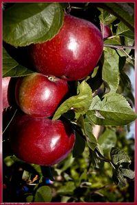 galerie_membre_fruit_trois_pommes