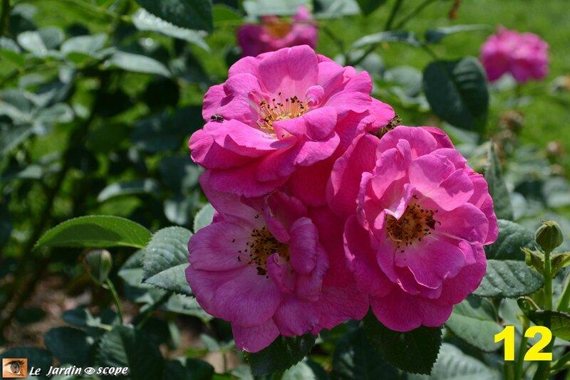 12-Concours international de roses d'Orléans 2016