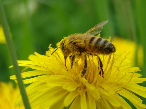 2008 05 13 Une abeille qui butine une fleur de pissenlit
