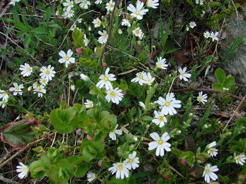 2008 05 12 Des fleurs de Stellaire holostée