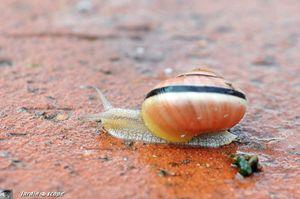Escargot des jardins • Cepaea hortensis