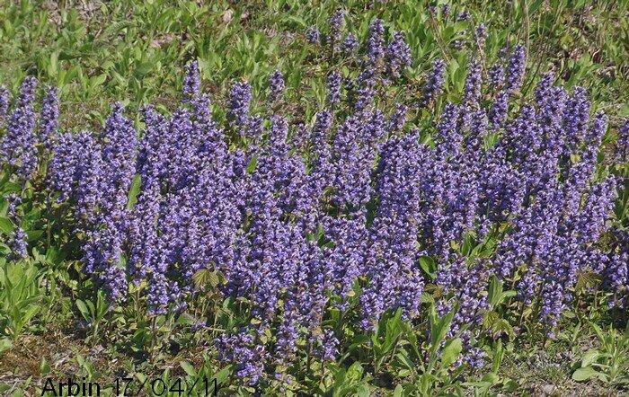 Bugle rampante blog v g tal for Plante vivace rampante