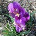iris dans mes collines