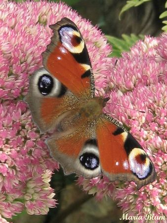 papillon Peacock MontanaPatch (17)