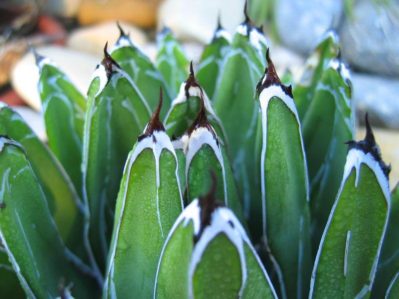 Succulente_Agave_Victoriae_reginae