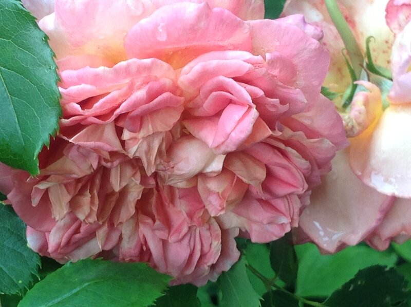 Une jolie rose aux senteurs sucrees