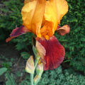 Iris 'My Mother'