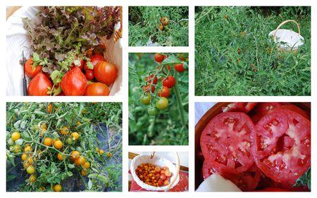 Jardin_au_retour1_tomates