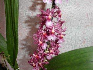 orchid_es_mami_004