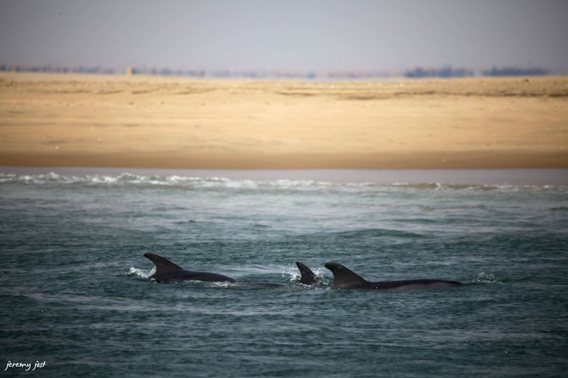 Walwis bay dolphins