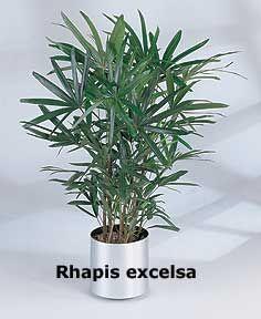 rhapisexcelsaod9