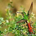 Colibri sapho (sappho sparganura)