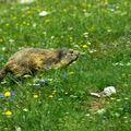 Vercors suite : marmotte