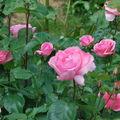 Des roses à Denée