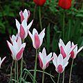Tulipa clusiana' lady jane'