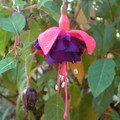 Les fuchsias, des arbustes à fleurs en jupons aux multiples variétés et couleurs…