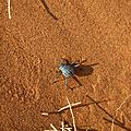 insecte du desert