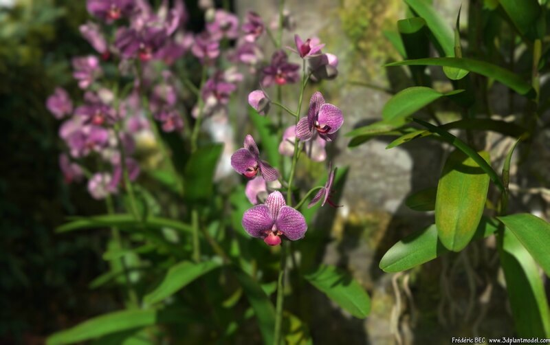 03 Dendrodium orchid 3D plant model flower epiphyte 3DS C4D Max FBX obj image 2