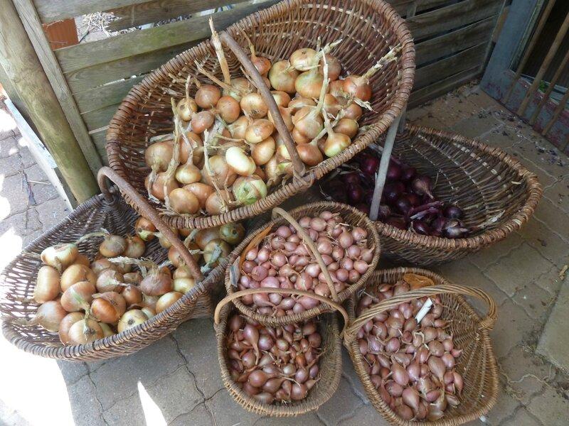 8-oignons et échalottes (4)