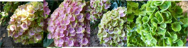 hydrangea magical Coral