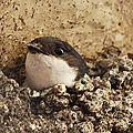 Hirondelle de fenêtre (nid)