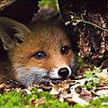 Le renard : messager spirituel et onirique