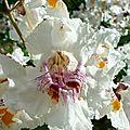 Je trouve les fleurs de cet arbre tellement belles qu'il mérite un message à lui tout seul... et encore quelques photos !