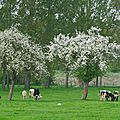 pommiers vaches