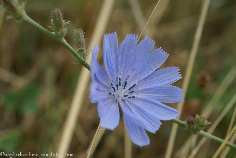 chicorée fleur