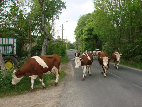 2008 05 31 Les vaches qui traversent la route