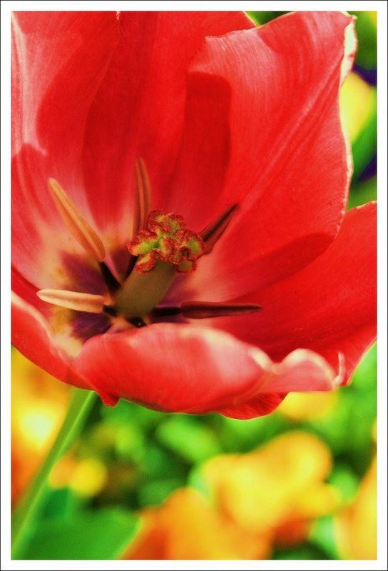 une tulipe au bossuet