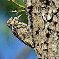 Pic varié (picoides mixtus)