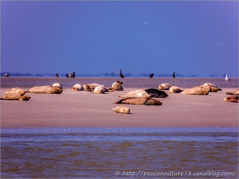 Phoques baie de Somme (8)