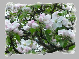 cerisier_arbre