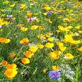 Tapis de fleurs des champs pour attirer les insectes