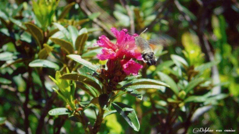 Sphinx colibri sur Azalée