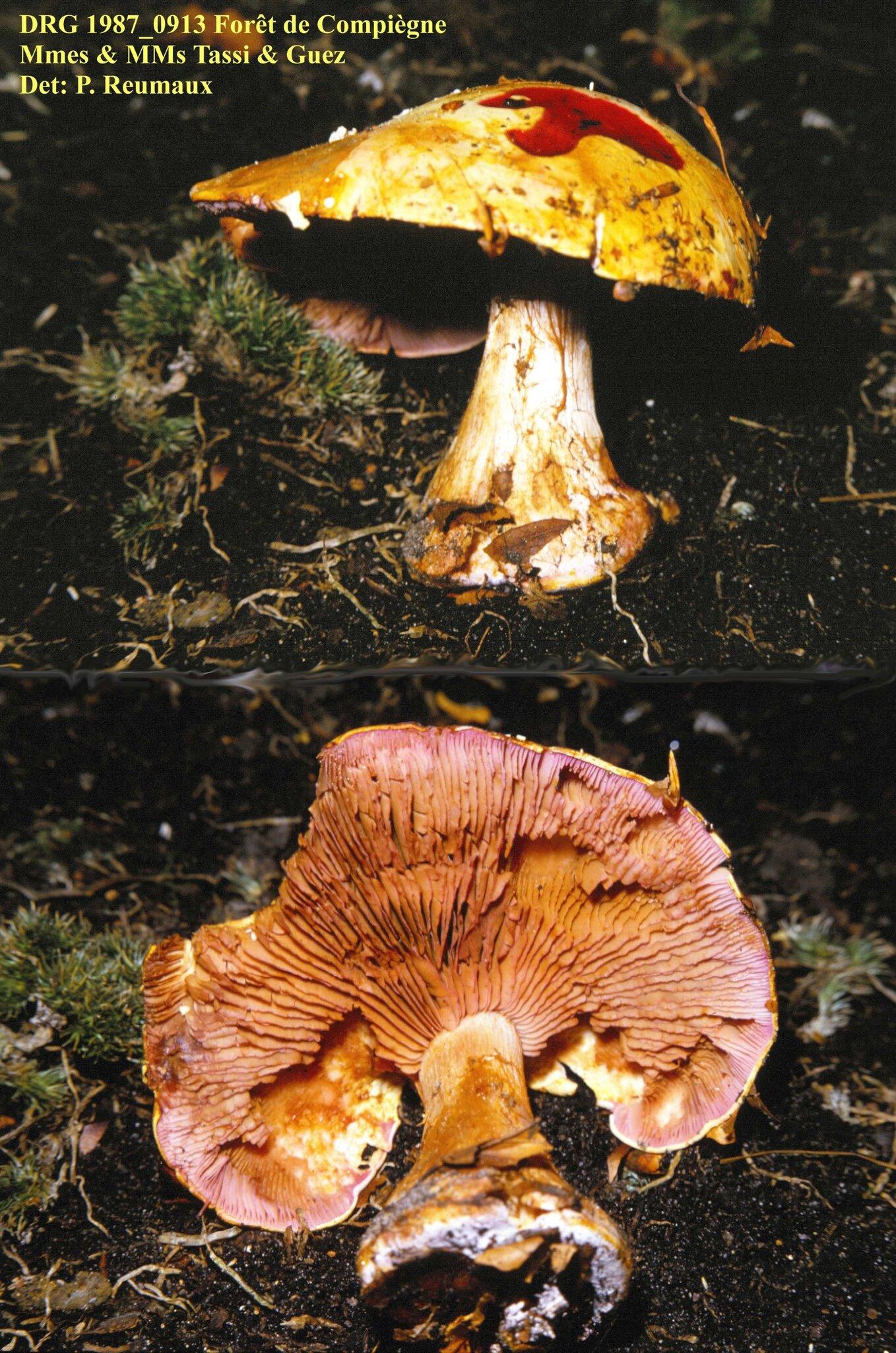 Cortinarius_rickenianus_1987_0913_Compiegne
