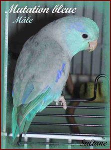 mutation_bleue