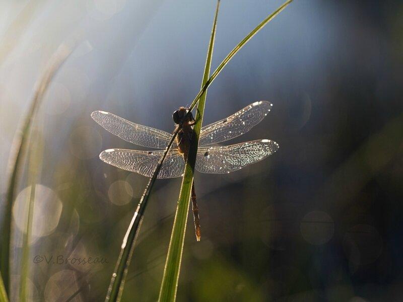 libellule-aurore