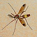 Tipule ornementée • Ctenophora ornata • Famille des Tipulidae