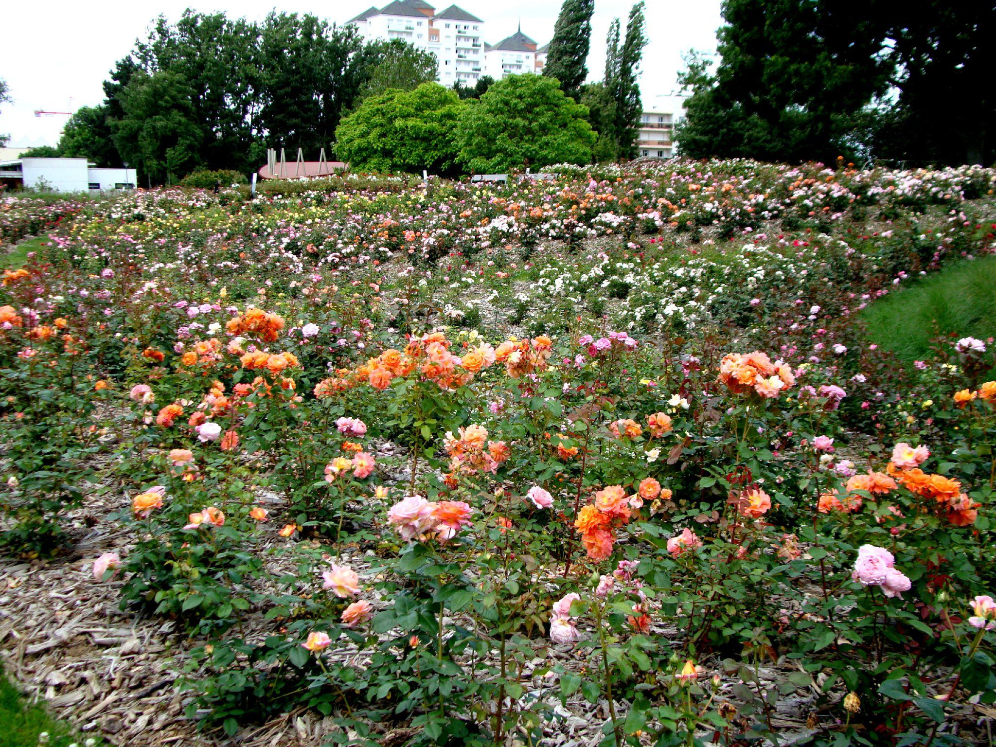 La roseraie de Grand-Quevilly - MariePhotosLaure