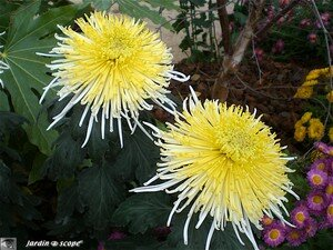 Chrysanthemes_10