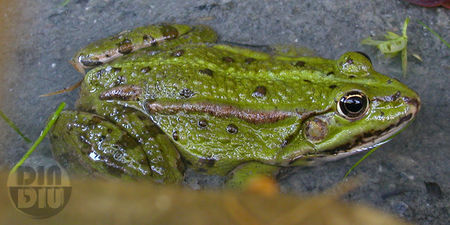 grenouille_2009_2