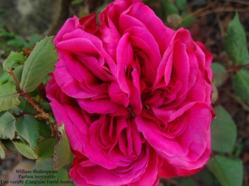 1er rose 20170409