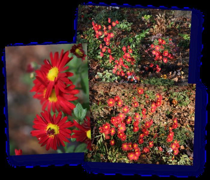 chrysantheme feu de l automne