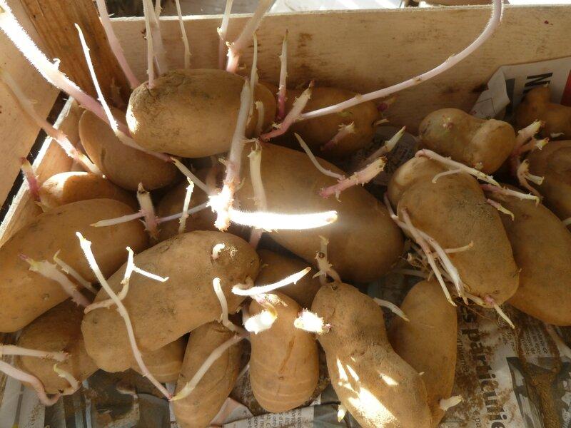 16-épichonnage des patates (2)
