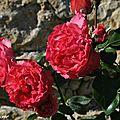 Rosier Rose des Blés