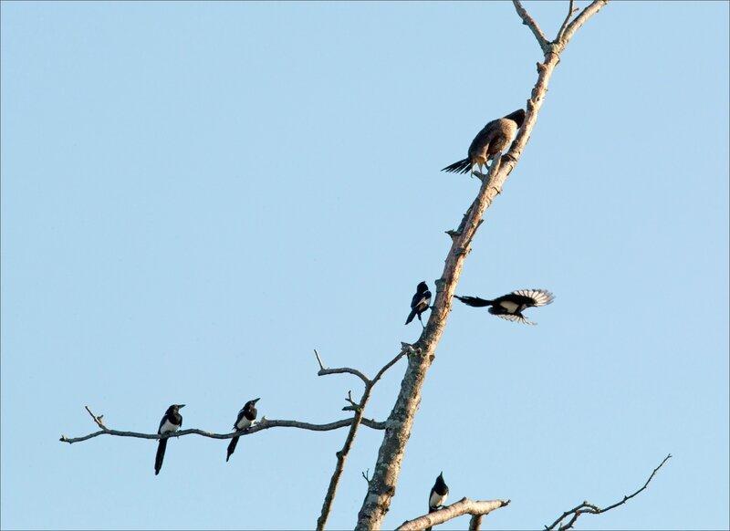 ville cormoran pies matin 290916 2