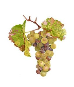 botrytis-riesling